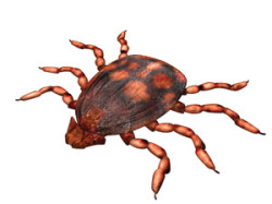 brown_dog_tick