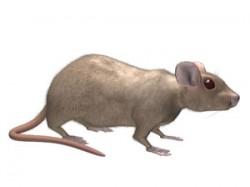 norway_rat