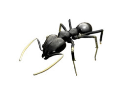 white_footed_ant
